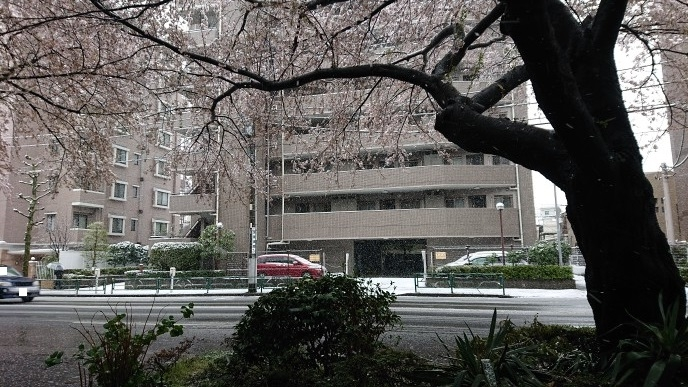 練馬区、中村橋・富士見台、サヤン鍼灸院・接骨院ブログ、雪桜