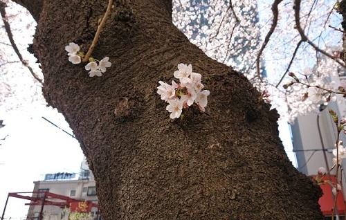 練馬区、中村橋・富士見台、サヤン鍼灸院・接骨院ブログ、桜の花