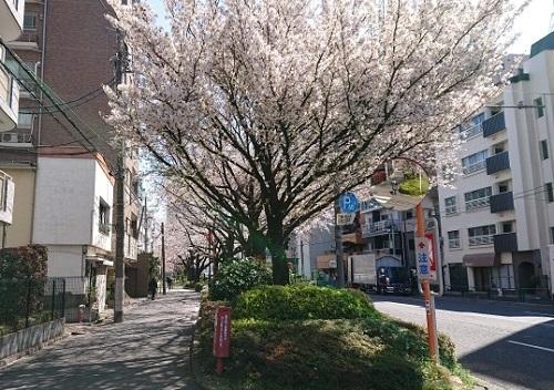 練馬区、中村橋・富士見台、サヤン鍼灸院・接骨院ブログ、桜満開