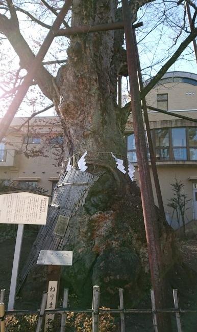 練馬区、中村橋・富士見台、サヤン鍼灸院・接骨院ブログ、練馬白山神社の大ケヤキ