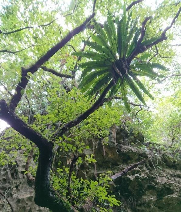 練馬区、中村橋・富士見台、サヤン鍼灸院・接骨院ブログ、ガンガラーの谷、空飛ぶシダ植物