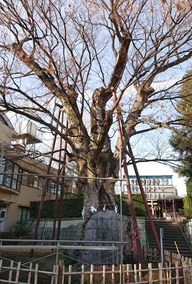 練馬区、中村橋・富士見台、サヤン鍼灸院・接骨院ブログ、練馬白山神社、大ケヤキ