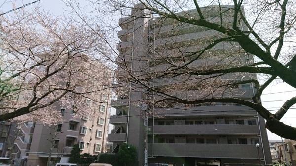 練馬区、中村橋・富士見台、サヤン鍼灸院・接骨院ブログ、店頭の桜