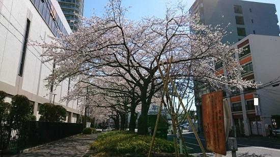 練馬区、中村橋・富士見台、サヤン鍼灸院・接骨院ブログ、桜・花冷え