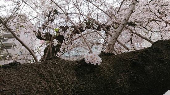 練馬区、中村橋・富士見台、サヤン鍼灸院・接骨院ブログ、桜アップ