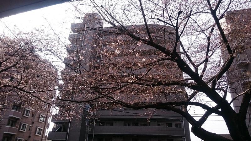練馬区、仲村橋・富士見台、サヤン鍼灸院接骨院前の桜並木