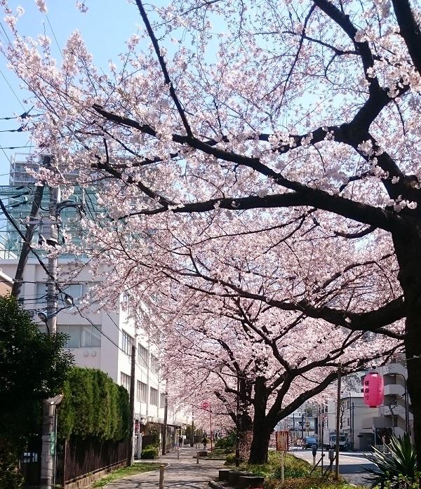 練馬区、中村橋・富士見台、サヤン鍼灸院・接骨院近くの桜並木です。