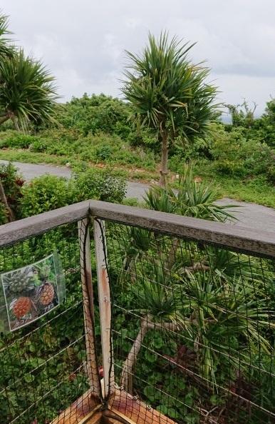 練馬区、中村橋・富士見台、サヤン鍼灸院・接骨院ブログ、ぬちまーす塩工場のタコの木