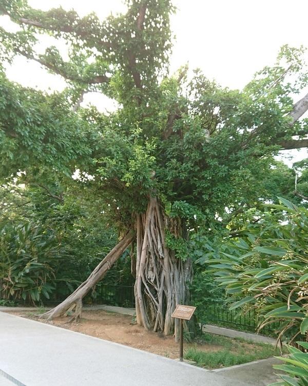 練馬区、中村橋・富士見台、サヤン鍼灸院・接骨院ブログ、アカギの大木