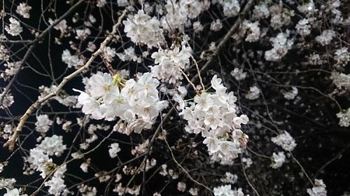 練馬区、中村橋・富士見台、サヤン鍼灸院・接骨院ブログ、夜桜2